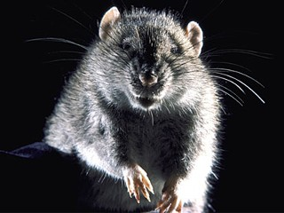 Nm_brown_rat_091106_mn